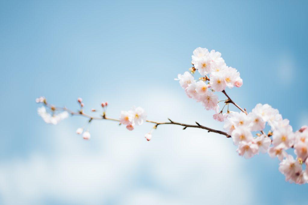 kirsikka-kukkii